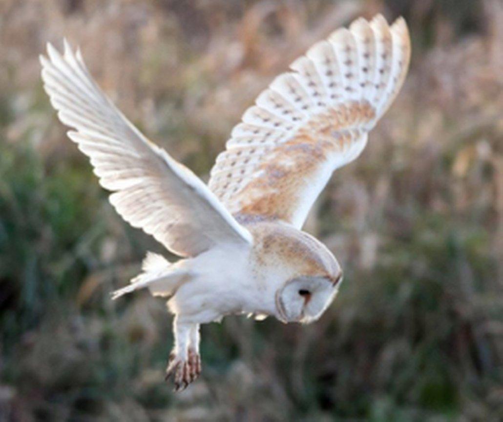 vliegende witte uil